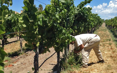 Tools for Efficient Water Use in the Vineyard – June 9