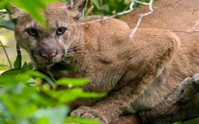 WILD St. Helena ~ Living with Mountain lions ~ July 18